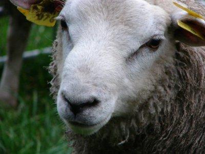Vlaams Parlement stemt decreetsvoorstel over de toegelaten methodes voor het slachten van dieren